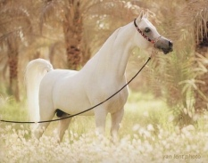 cal arab